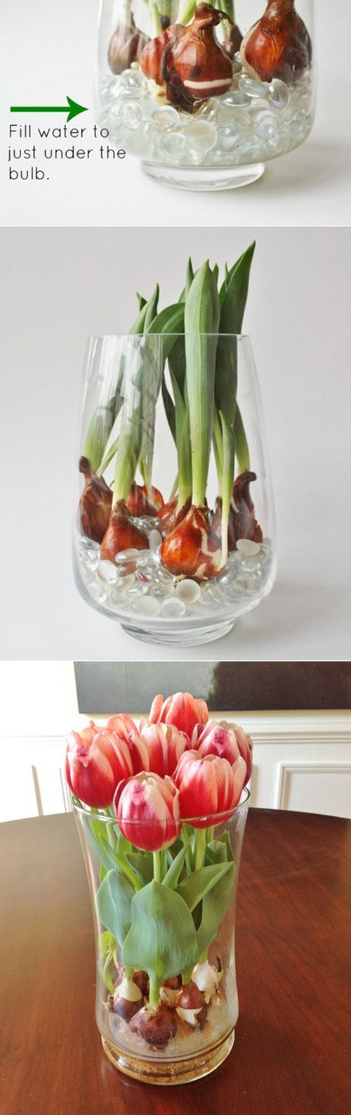Forcing tulip bulbs in water11.