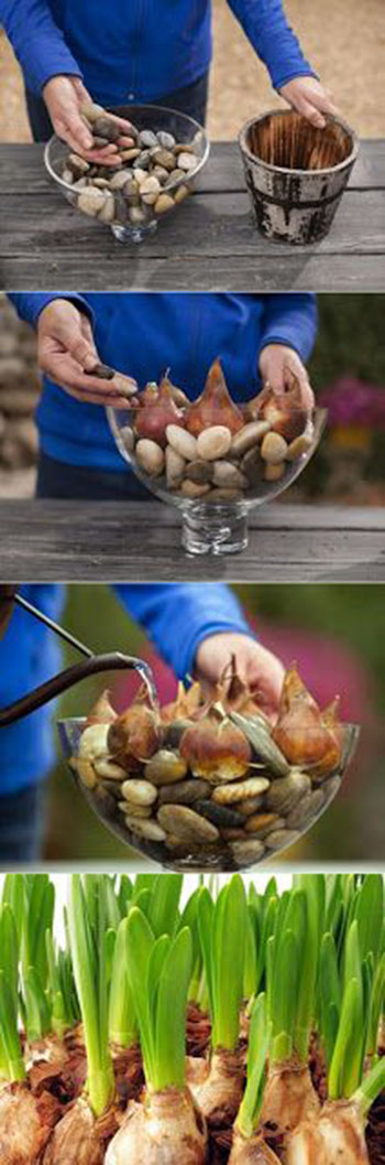 How To Grow Flower Bulbs In Water11